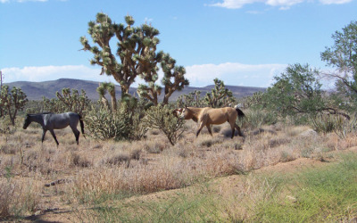 Wild Horses, Joshua Tree Forest