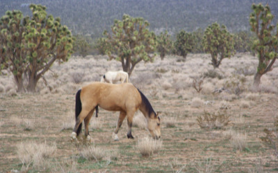 Horses Grazing in Joshua Tree Forest