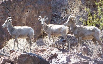 Desert Big Horns
